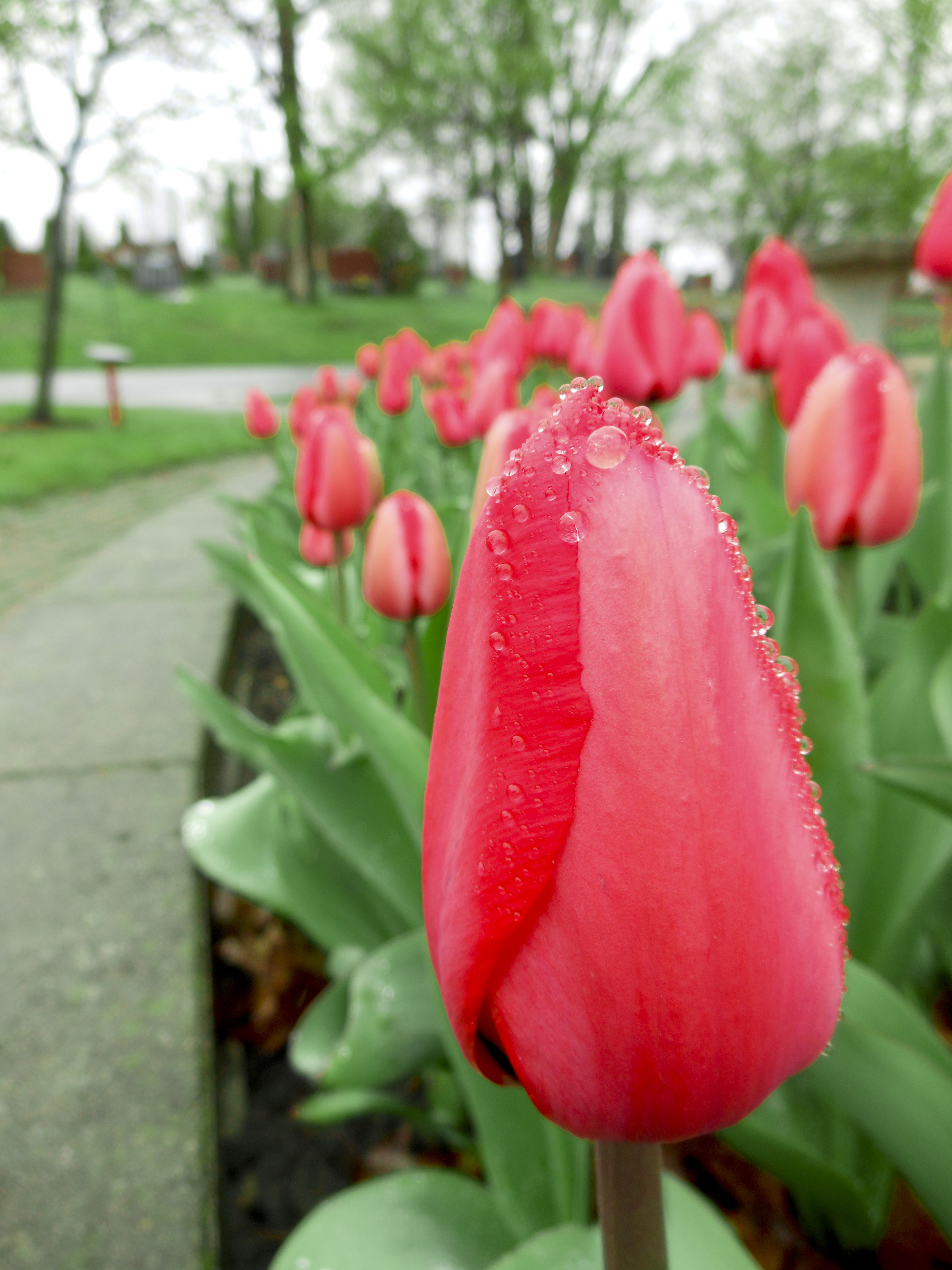Image of a pink tulip with raindrops